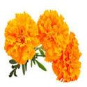 Calendula: The Anti-Inflammatory, Antiviral Healing Herb