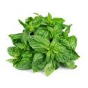 Holy Basil Leaf Niaz Bu Burge Tulsi