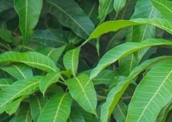 Medicinal Uses of Mango Tree Leaves