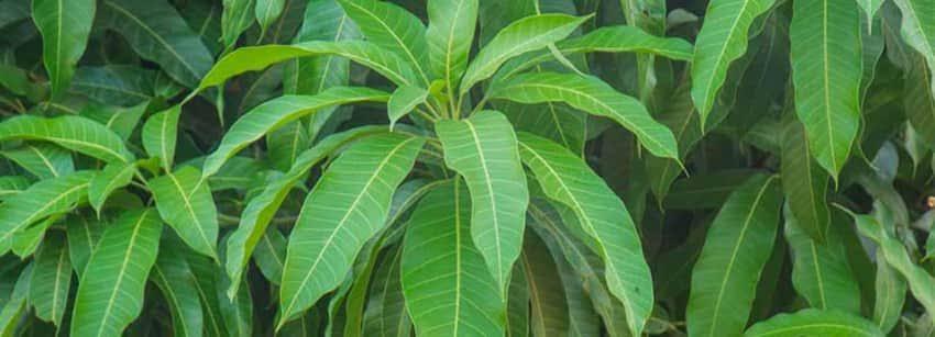 Medicinal Uses of Mango Tree Leaves